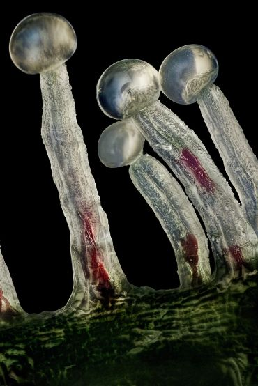 Welcome to the world of trichomes